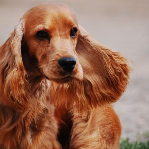 cocker-spaniel-english-2388265_1920