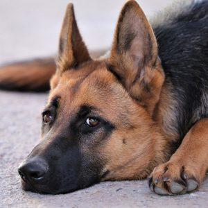 german-shepherd-3712038_1920