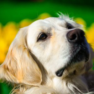 golden-retriever-4073350_1920