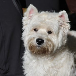 the-west-highland-white-terrier-3426107_1920