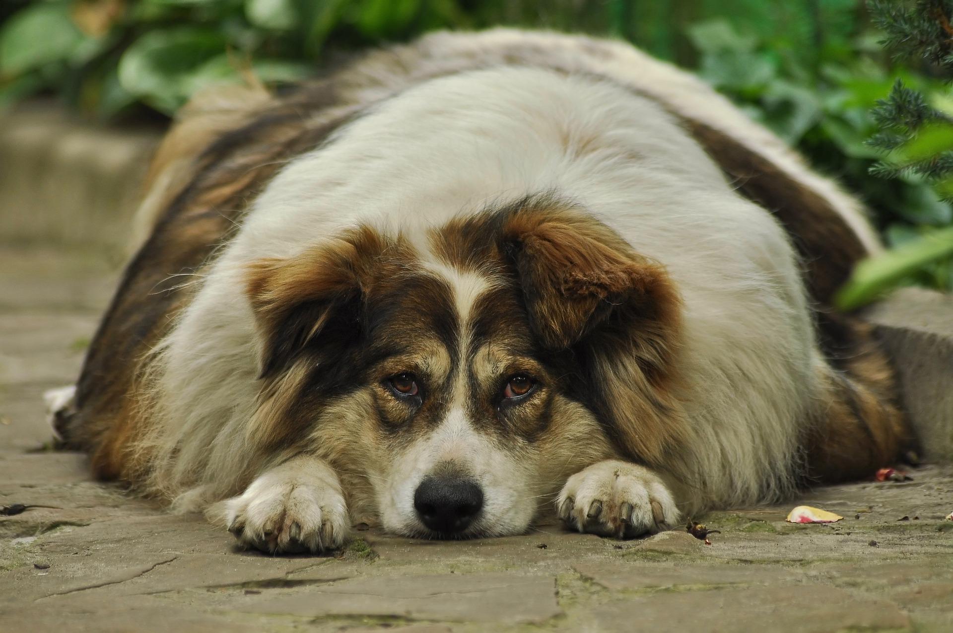dikke hond schildklier?